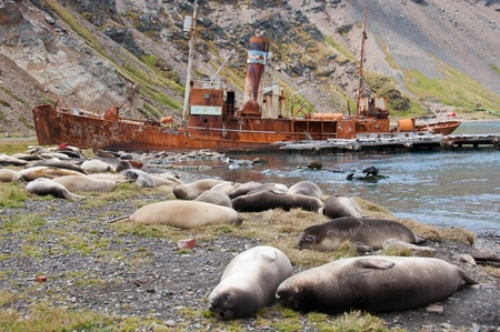 whaling: Elephant Seals. Female elephant seals rest at the historic whaling station in Grytviken, South Georgia Island