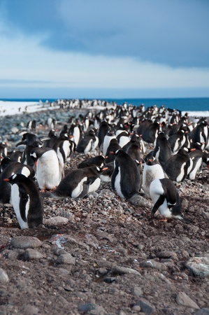 Gentoo Penguins.This colony at Yankee Harbor on the Antarctic Peninsula numbers around 4000 pairs. Stock Photo - 10401979