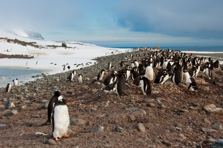 Gentoo Penguin Colony.Thousand of penguins raising their chicks on a beach in Antarctica.