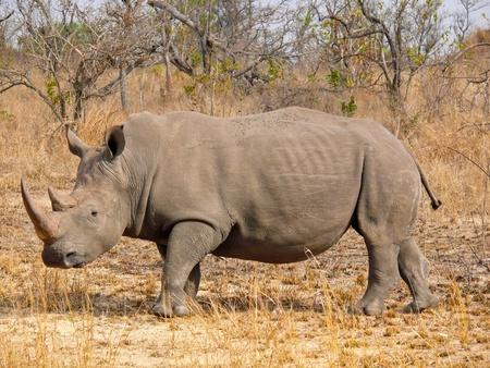 Rhinoc�ros blanc. Un des rhinoc�ros sous la protection du parc national Kruger.