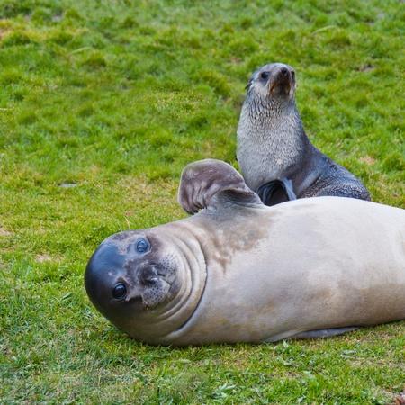 Otarie � fourrure avec Pup.This l'Antarctique de phoques � fourrure semble agiter welcomingly car il garde son chiot. Banque d'images