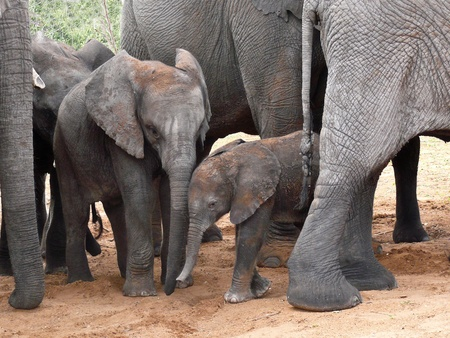 Baby Elephants protected by their herd in Botswana, Africa. Stock Photo