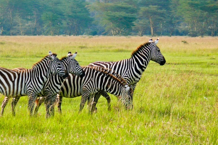 Four zebras grazing in Masai Mara National Reserve, Kenya. Stock Photo - 10630137