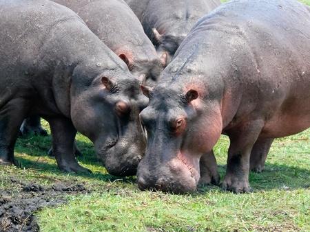 botswana: Grazing hippos on the Zambezi River, Africa