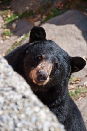 oso negro: Un oso se asoma desde su hábitat natural en la montaña de abuelo, Carolina del Norte.