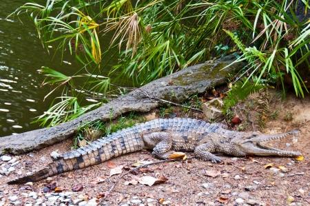 Alligator, Kurunda Village, Australia