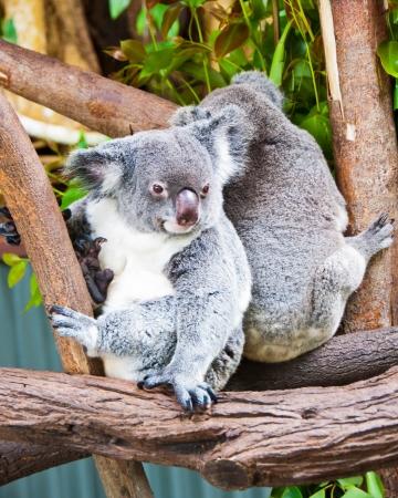 Ces koalas en voie de disparition vivent dans un sanctuaire Kurunda, pr�s de Cairns