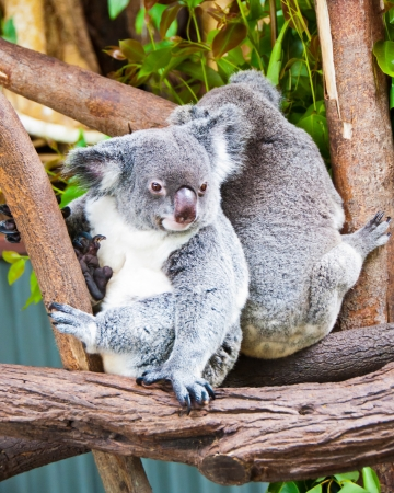 These cuddly endangered koalas live in a sanctuary in Kurunda, near Cairns