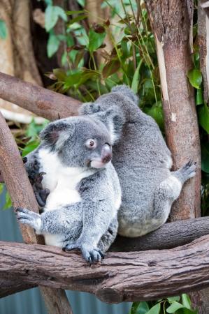 These cute koalas live in a sanctuary in Kurunda, near Cairns