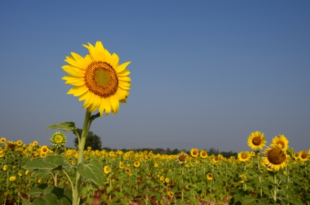 Sunflower at Lopburi photo