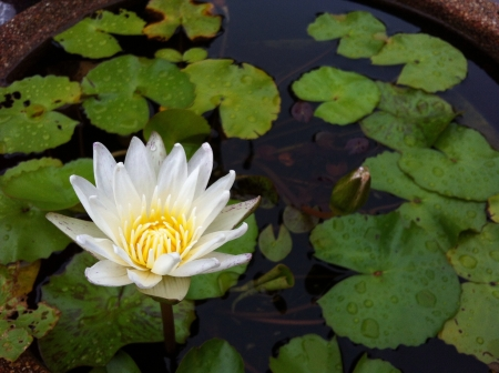 wish: White lotus water lilly flower in the pool Stock Photo