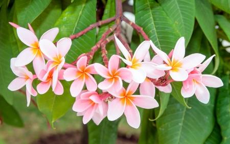 Panicle pink plumeria flowers on its tree