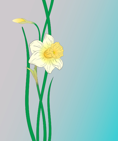 narcissus: Narcissus. White flower on a blue background