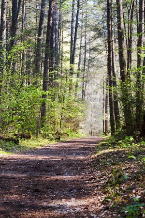 Quiet woodland trail, sun-dappled and lined with tall trees