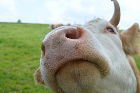 curious swiss cow coming close to check out my camera 写真素材