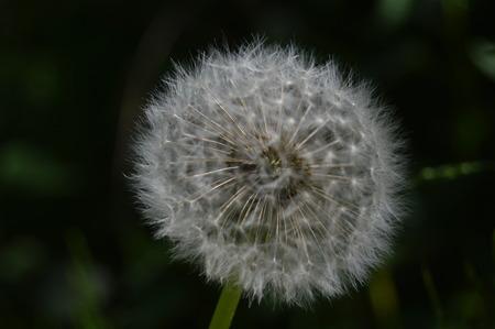 full dandelion parachute sphere ready to disp