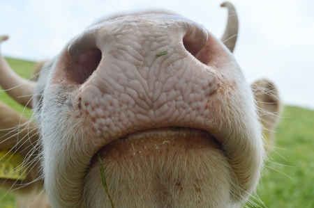close up of a cows nose and nostrils with grass and saliva sticking to lower lip 写真素材
