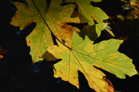 sunlight illuminating maple leaves that have started to change color clearly showing the veins of the leaves