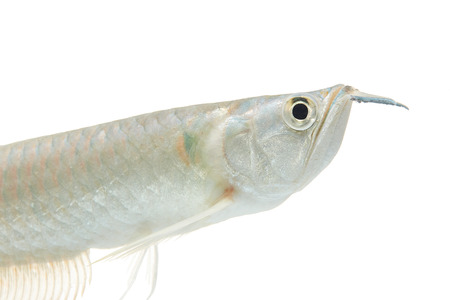 arowana: Silver arowana in white background Stock Photo