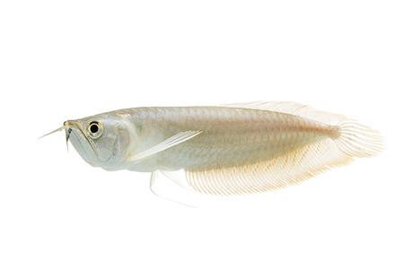 Silver arowana in white background Stock Photo