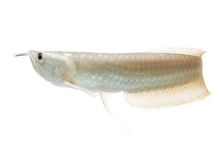 arowana: Silver arowana in white background, Osteoglossum bicirrhosum Stock Photo