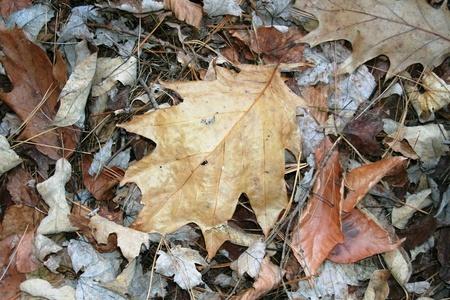 fall oak leaf Reklamní fotografie - 8346567