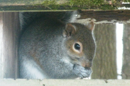 grijs eekhoornzaad