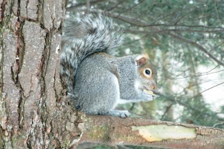 squirrel-pretzel Stockfoto