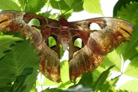Atlas nachtvlinder