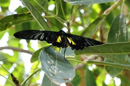 zwartgele vlinder