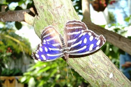 blauwwitte vlinder Stockfoto