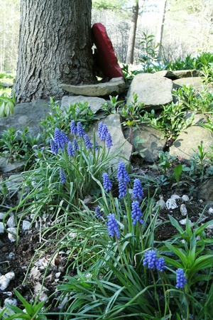 blooming grape hyacinth