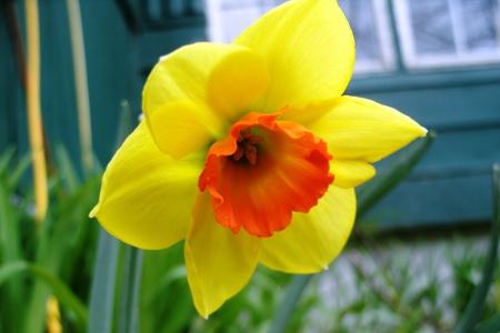 daffodil-orange yellow Stockfoto