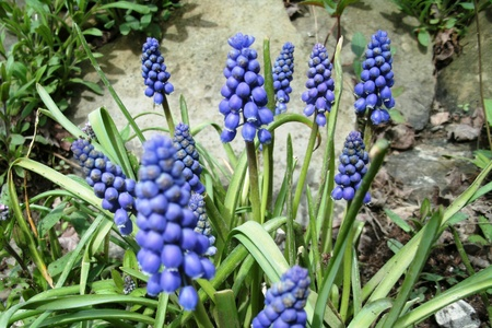druif hyacint