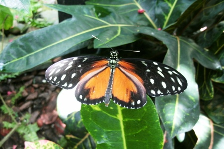 orange-black butterfly Stockfoto
