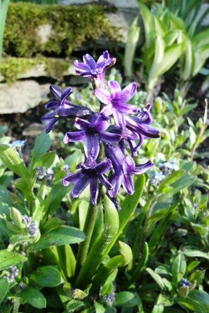 paarse hyacint bloeien