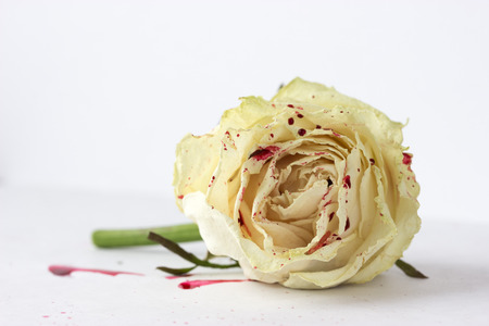 sad heart: white rose with blood on white background (not isolated)