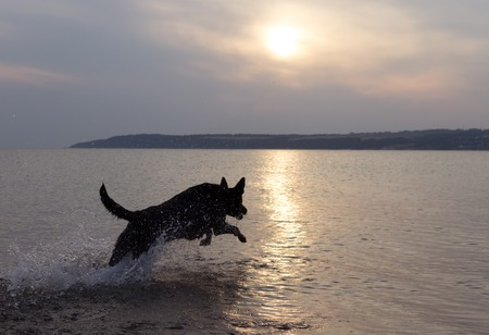 black dog running on the sea, back lit