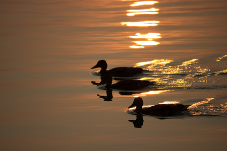 yelloow: three duck swim on the lake sunset Stock Photo