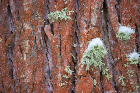 tree bark covered with moss and snow background