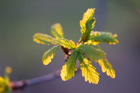 first leaves in backlight, spring sunset light