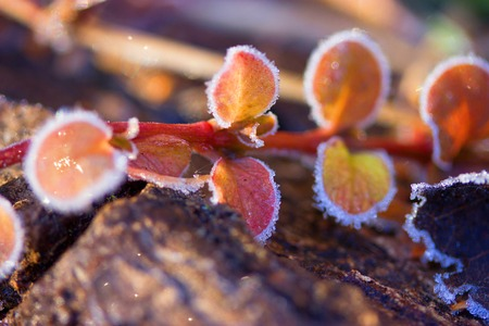 beautiful Frozen plants in winter with the hoar-frost Stock Photo