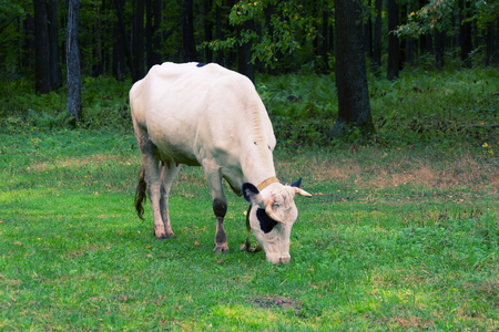 creamery: one white Cow grazing on a meadow