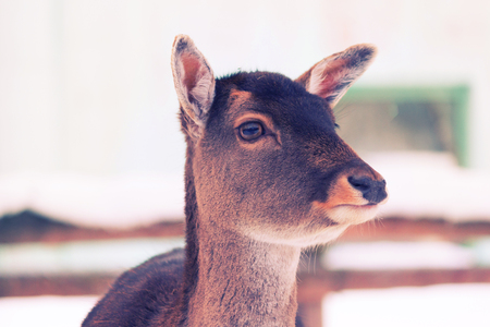 young deer without horns in winter in a zoo