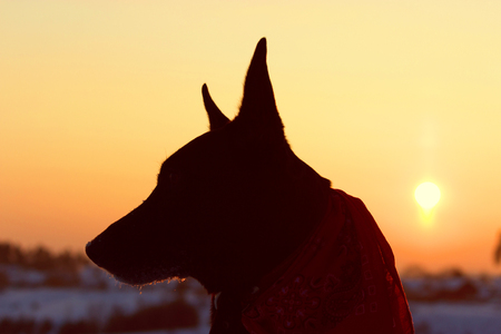Dog back light silhouette in sunset. sunny winter evening Stock Photo