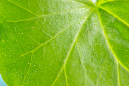 Green leaf background texture in macro closeup, Concept for nature ecology