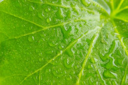 Water drops on fresh green leaf. macro