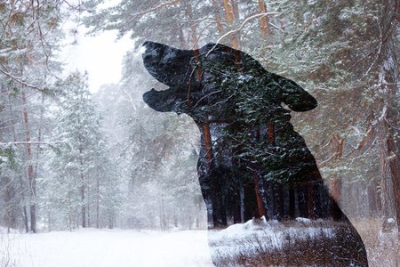 silhouette of a wolf over winter forest