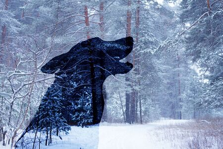 wolf silhouette in winter forest. howling