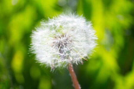 dangelion flower close up in summer Фото со стока